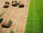 北京市房山区琉璃河韩村河草坪种植基地出售园林绿化草皮种植草皮