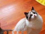 毛绒绒的布偶喵 火爆欧美的猫品种 魅力超高哦