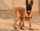 天津哪里卖马犬 天津纯种马犬价位 天津便宜的马犬卖