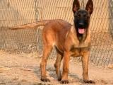 官方保障 犬舍繁殖纯种马犬 纯种健康养活 可签协议