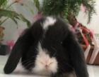 白雪宠物兔舍(各种垂耳、猫猫、侏儒)
