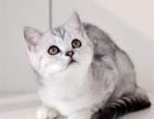 出售 自家繁殖 渐层猫咪