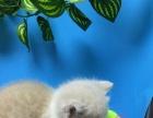 纯种英国猫蓝白高地,五个多月,生活自理,可以去新家