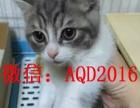 猫舍出售美国短毛猫 美短加白 纯种家养 多只待售 可上门挑选