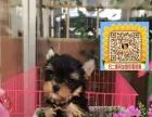 基地直销高品质约克夏幼犬 保纯种健康 售后签协议