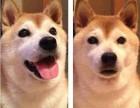 纯种日本柴犬找新家了 拥有很好的品质,让您爱不了