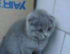 出售自家繁育纯种英国短毛猫蓝猫 亲人可爱 2个月幼
