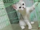 英短渐层幼猫,短毛猫