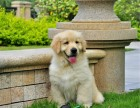 临沂哪里卖金毛幼犬出售美系美系金毛精品纯种金毛幼犬金毛犬图片