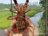 鲜活水产品养殖  宜城大虾虾苗、小龙虾种苗直供