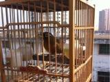 出售家养画眉鸟 包叫 公得