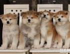 上海哪里有免费赠送宠物狗,自家秋田幼犬免费找新家,公母都有