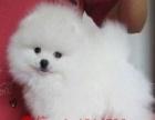 可爱的哈多利球型博美幼犬转让 小博美是茶杯型 长不大