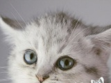 重庆渝北上门挑选英国短毛猫自己繁育包健康