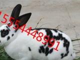 杂交野兔哪里有卖 养兔大型养殖场出售肉兔种兔长毛兔
