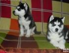 宠物狗狗纯种哈士奇犬活体幼犬赛级三火蓝眼雪橇犬幼崽健康出售