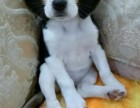 纯种米格鲁(比格犬)宝宝找新家健康保证