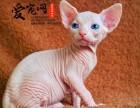 哪里有无毛猫猫舍 上海爱宠网品牌猫舍 多只挑选