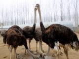 西安出售鸵鸟苗 全场低价欢迎咨询