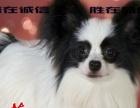珠海酷萌狗场哪里有卖蝴蝶犬一只多少钱