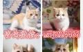 一家包纯种 包健康 猫舍专业 繁殖猫咪 美短英短
