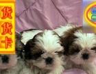 宠物狗狗纯种幼犬西施犬出售疫苗齐全健康保障可上