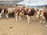 西门塔尔销售价格天津肉牛犊饲养场一部