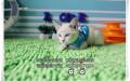 重点色暹罗猫DDMM找新家保纯保健康可上门