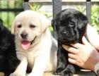 张家港哪有拉布拉多犬卖 张家港拉布拉多犬价格 拉布拉多多少钱