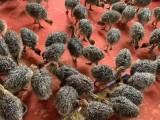 德州养殖场直销鸵鸟活体苗