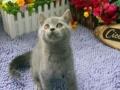 纯种蓝猫英短蓝猫俄罗斯蓝猫幼猫 保证售后 短毛猫