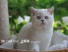 【大脸猫馆】WCF欧血渐层 银点色渐层预定