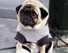 出售纯种迷你巴哥幼犬 疫苗齐全品质有保
