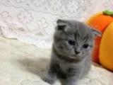 折耳猫弟弟,立耳猫妹可爱呆萌傻白甜,美短英短短毛猫