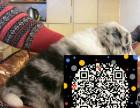 边境牧羊犬 超棒骨量 毛量 智商第一 保健康纯种