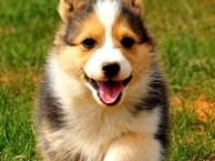 锦江柯基犬出售 锦江三个月纯正柯基幼犬价格 专业售后