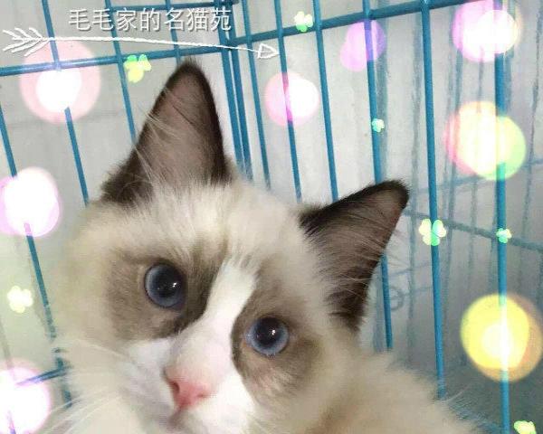 纯种海豹双色种公2000元_上海宠物猫_上海列表网