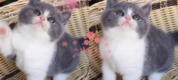 兰州哪里有卖蓝猫的较便宜多少钱一只