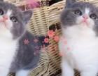 哈尔滨哪里有卖蓝猫幼崽 哈尔滨较便宜蓝猫多少钱一只保健康