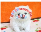 正宗可爱的京巴犬是自己家里,雪白可爱,很老版的狗狗