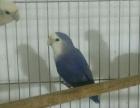 精品特色牡丹鹦鹉紫罗兰