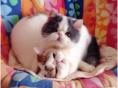 两只胖嘟嘟健康加菲猫宝宝找爱猫新主人领养照顾