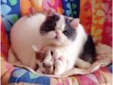 个人家庭胖嘟嘟加菲猫小猫儿免费送喜欢养幼猫新猫妈妈领养照顾