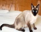 暹罗猫高品质重点色 泰国暹罗猫 漂亮蓝眼睛欢迎上门挑选