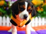 佛山禅城哪里有卖比格犬 纯种比格犬价格