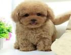 常年销售 泰迪 高品质有保障犬一顾客信赖的选择