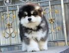 乌鲁木齐哪里有阿拉斯加犬出售 纯种阿拉斯加犬多少钱