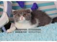 家庭繁育纯种蓝猫宝宝-保纯保健康价格美丽