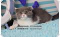 蓝猫 专注于纯种猫繁育健康品质有保证