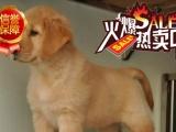 犬舍直销;金毛,拉布拉多.包成活,签订保障协议